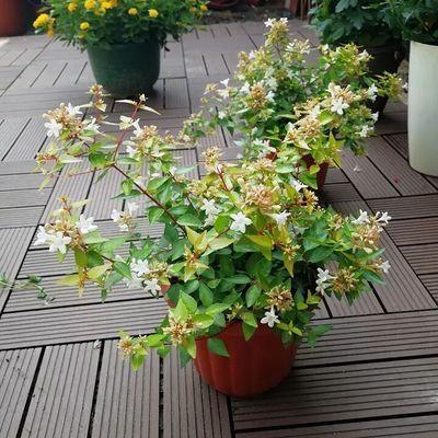 【花期长好养】耐热耐晒大花六道木盆栽阳台植物花卉多年生灌木