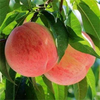【龙泉水蜜桃 今年特别甜】5/3/1斤新鲜桃子水果黄桃油桃脆桃蟠桃