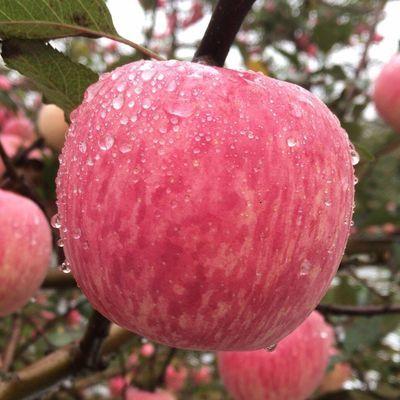新品精品陕西洛川冰糖心丑苹果脆甜红富士新鲜水果3斤5斤10斤整箱