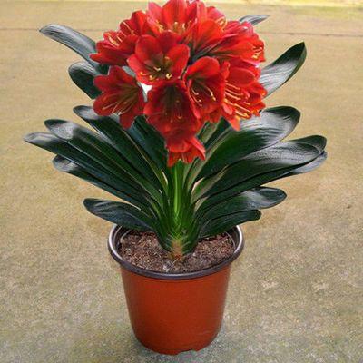 室内花卉君子兰盆栽桌面植物君子兰花苗当年开花精品君子兰大苗