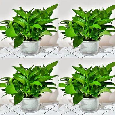 绿萝盆栽长藤花卉水培绿植物大叶客厅除甲醇净化空气室内吊兰好养