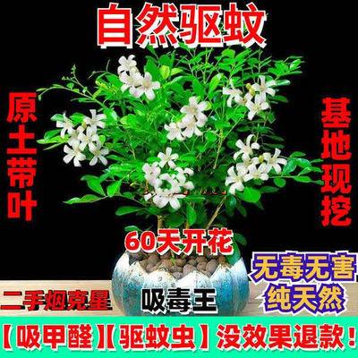 【蚊虫克星】驱蚊草九里香办公室内清香木吸甲醛花卉绿种植苗盆栽