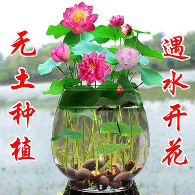 【四季种植】碗莲种子水培植物室内绿植盆栽七彩睡莲荷花种子花卉
