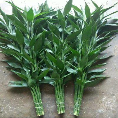 富贵竹水培植物转运竹盆栽植物室内净化空气绿植花卉四季好养水养