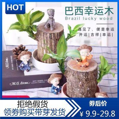 带叶巴西木格鲁特水培植物幸运木办公室内桌面绿植小盆栽懒人水养