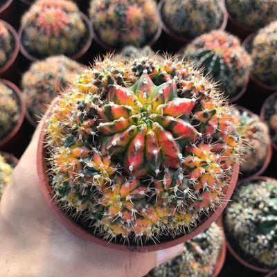 五彩牡丹锦 仙人球 易开花稀有品种自然锦室内多肉盆栽