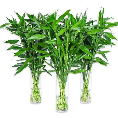 富贵竹转运竹水养水培植物室内客厅绿植花卉盆栽观音竹开运竹包邮
