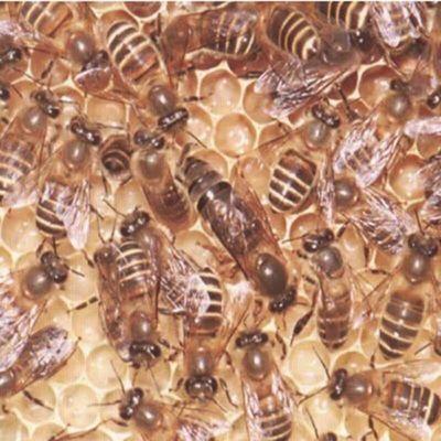 【随机蜂王】中蜂王活体种王蜂王台开产交尾阿坝高产杂交处女产卵