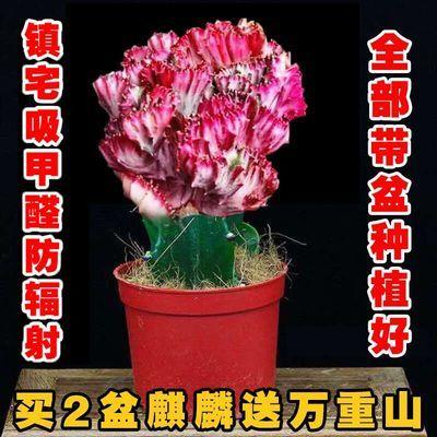 多肉植物彩麒麟盆栽仙人掌室内客厅吸甲醛绿植花卉盆栽玉麒麟