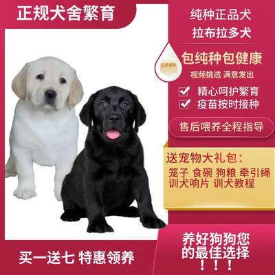 拉布拉多活体幼犬幼崽宠物狗导盲犬纯种包邮