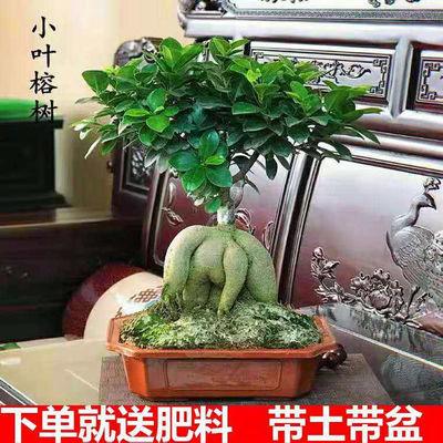 榕树盆景老桩大型榕树四季常青室内客厅植物办公室小盆景观赏绿植