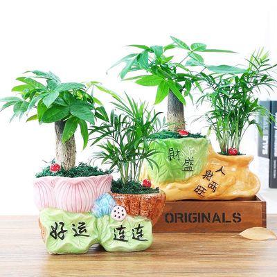 发财树盆栽文竹室内花卉小盆景办公室绿色植物客厅招财金钱树盆栽