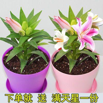 进口香水百合种球带芽重瓣大球花卉种子室内阳台四季易活绿植盆栽