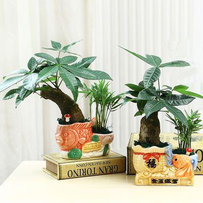 发财树盆栽室内花卉小盆景办公室绿色植物客厅招财金钱树盆栽绿植