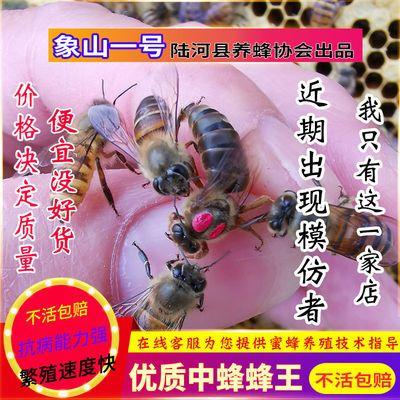 ~中蜂蜂王活体种王蜂王台开产交尾阿坝高产杂交处女产卵双色土蜂