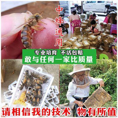 ~中蜂蜂王活体种王蜂王台交尾开产高产阿坝杂交处女产卵双色土蜂