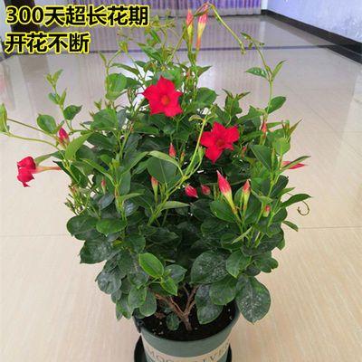 【买一送一】飘香藤盆栽 双喜藤 爬藤植物花卉盆栽植物 好养的花