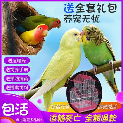 宠物鸟牡丹鹦鹉活鸟手养虎皮玄凤鹦鹉观赏鸟活物亲人说话小鸟包活