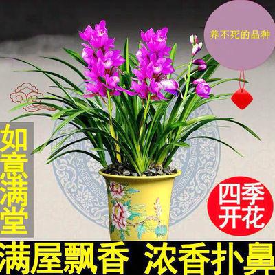 浓香型兰花室内盆栽植物客厅花卉办公室绿植四季开花兰花苗带花苞