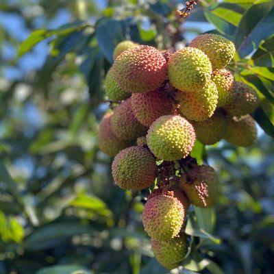 海南新鲜妃子笑小核荔枝白糖罂果园现摘应季当季水果上市一箱