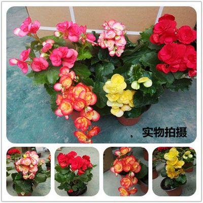 【好养易活】四季海棠丽格玫瑰盆栽重瓣海棠花卉客厅阳台鲜花绿植