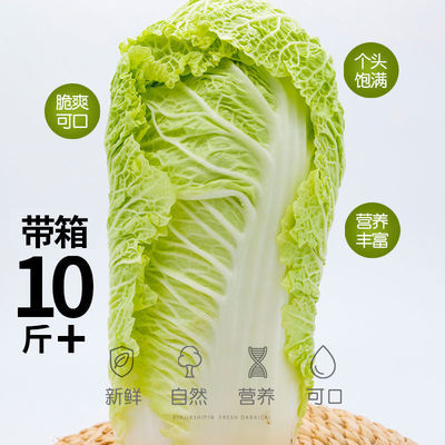 新直发大白菜新鲜蔬菜10斤农家菜黄心鲜嫩小白菜冬季非有机