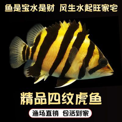 虎鱼印尼虎四纹三纹虎泰北虎短身虎苏门答腊虎鱼观赏鱼热带鱼鱼苗
