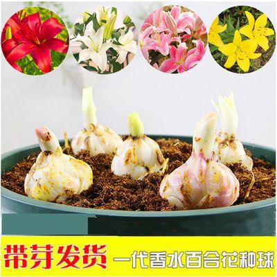 香水百合种球带芽耐寒四季盆栽室内阳台绿植花卉百合种球花苗盆栽