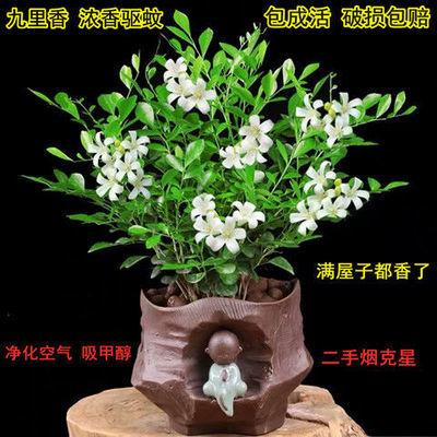 【包成活】驱蚊植物九里香盆栽花苗四季开花室内桌面阳台绿植花卉