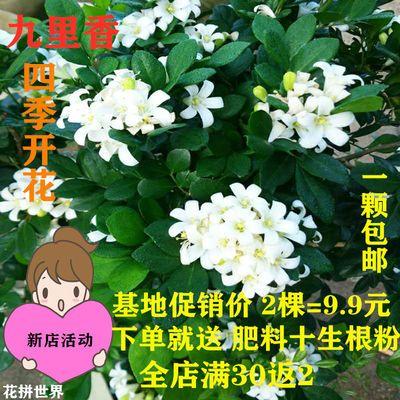 【蚊子克星】驱蚊植物九里香盆栽绿植办公室内桌面四季开花卉盆栽