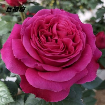 月季花苗盆栽星座系列多季节重复开花灌木月季微型月季丰花月季