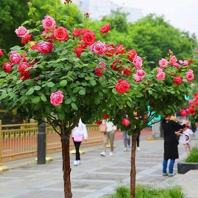 树状月季嫁接树桩月季庭院地栽盆栽花卉常年开花芳香大花耐寒耐旱