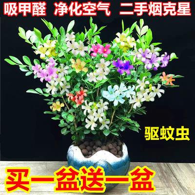 买一送一  驱蚊植物九里香盆栽花苗四季开花室内桌面阳台绿植花卉