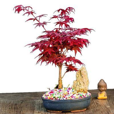 日本红枫树苗橙之梦黄金枫树苗盆景盆栽花卉绿植庭院阳台四季红枫