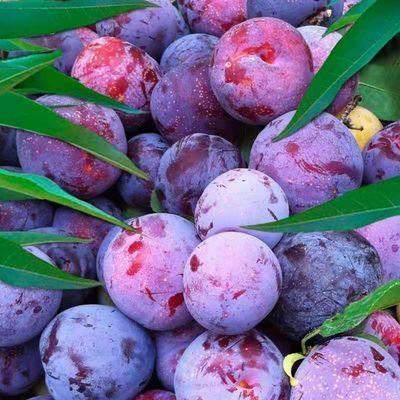【酸甜爽口】现摘陕西黑布林李子水果3/5斤整箱非红心脱骨青脆李