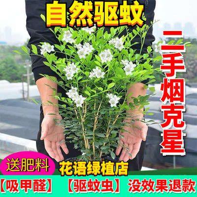 【蚊虫克星】九里香驱蚊草办公室内吸甲醛花卉南北方种绿植苗盆栽