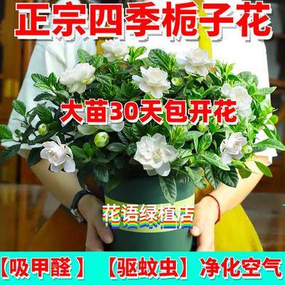 【正宗栀子花】驱蚊草办公室内桌面阳台九里清香花卉绿植苗木盆栽