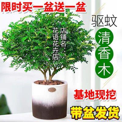 【买一送一】清香木驱蚊草办公室内吸甲醛净化空气绿植九里香盆栽