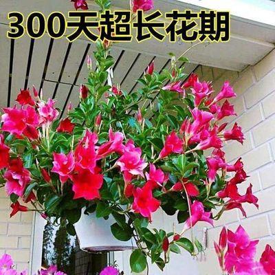 带花苞万里飘香藤爬墙植物室内庭院阳台花卉四季开花好养易活绿植