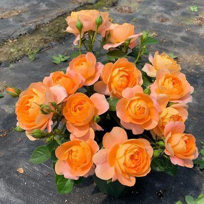 果汁阳台月季浓香型庭院灌木花卉植物盆栽蔷薇玫瑰花苗净化空气
