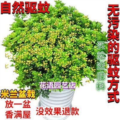 【四季米兰花】驱蚊虫草吸甲醛办公室内桌面浓香型花卉绿植苗盆栽