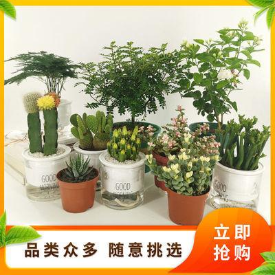 办公室内绿植桌面小盆栽好养发财树清香木茉莉花菖蒲吸甲醛防辐射