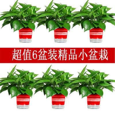绿萝盆栽 室内水培吊兰吸甲醛绿植 花卉基地批发可长藤植物