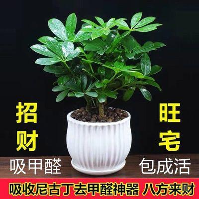 【吸甲醛】八方来财盆栽鸭脚木绿植花卉盆景发财树室内桌面防辐射