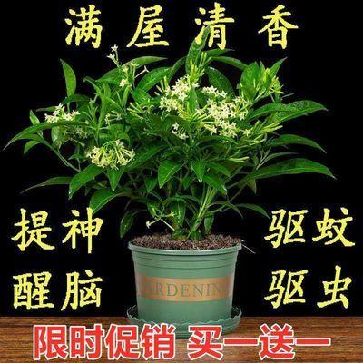 夜来香盆栽浓香四季驱蚊树花苗室外庭院观花植物净化空气绿植花卉