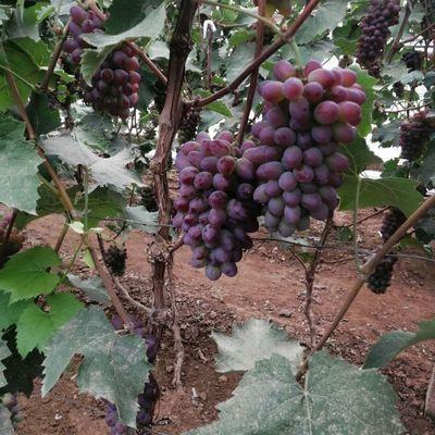 郁金香葡萄茉莉香葡萄儿童老人孕妇营养水果现采现发产地新鲜直销