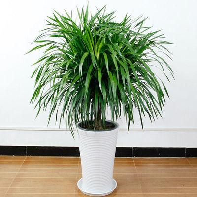 龙须树盆栽客厅去除甲醛龙血树花卉绿植盆栽绿化多头植物净化空气