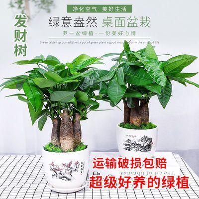 发财树盆栽四季植物绿植家里招财树小盆景办公桌小盆栽吸甲醛树苗
