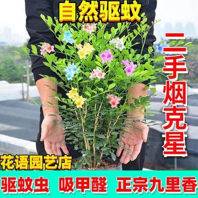 【包活包开花】驱蚊草九里香办公室内吸甲醛清香木花卉绿植苗盆栽