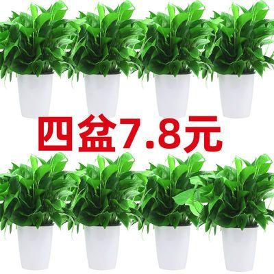 绿萝盆栽吸甲醛室内净化空气大叶长藤吊兰客厅防辐射网红垂吊绿植